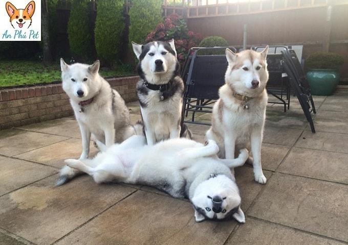 cho husky vui dua