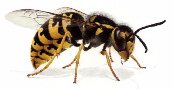 con ong nguon goc